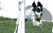 Jetta Jumps for flyball